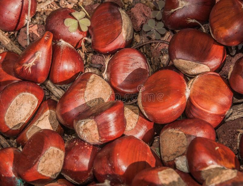 Chests Nuts royalty free stock photos