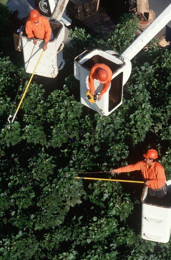 Chevêtres d'arbre dans des récolteuses de cerise photographie stock libre de droits