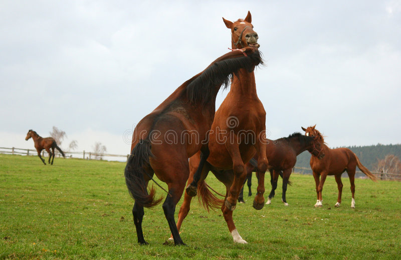 Cheval 5 image stock