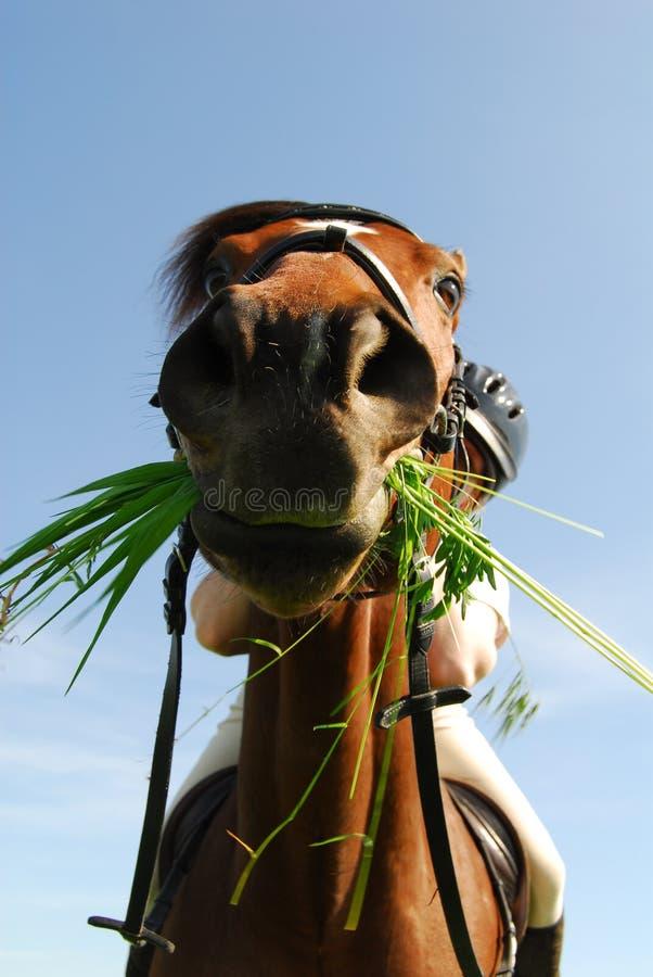 Cheval affamé image stock