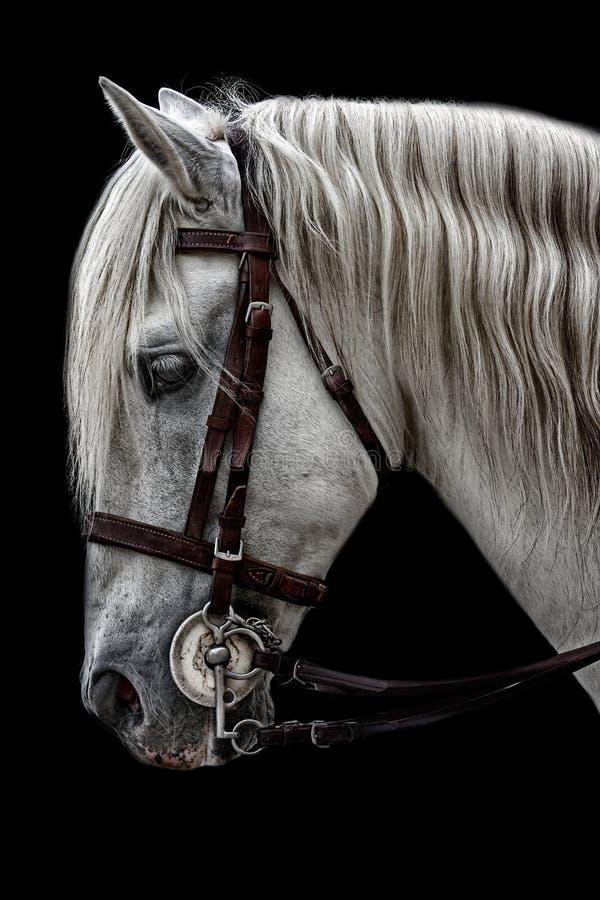 cheval andalou photos stock