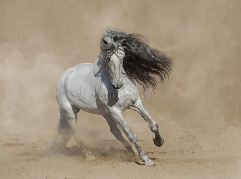 Cheval andalou Purebred blanc jouant sur le sable photo libre de droits