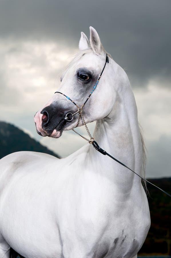 Cheval Arabe blanc sur le fond foncé photos stock