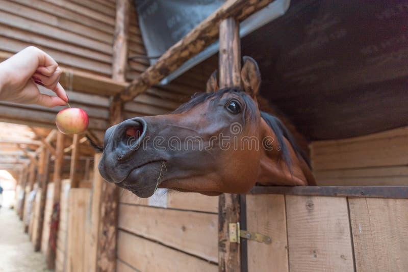 Cheval Arabe dans l'écurie images stock