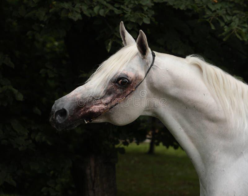 Cheval Arabe de race, portrait d'une jument grise avec le frein de bijoux photo libre de droits