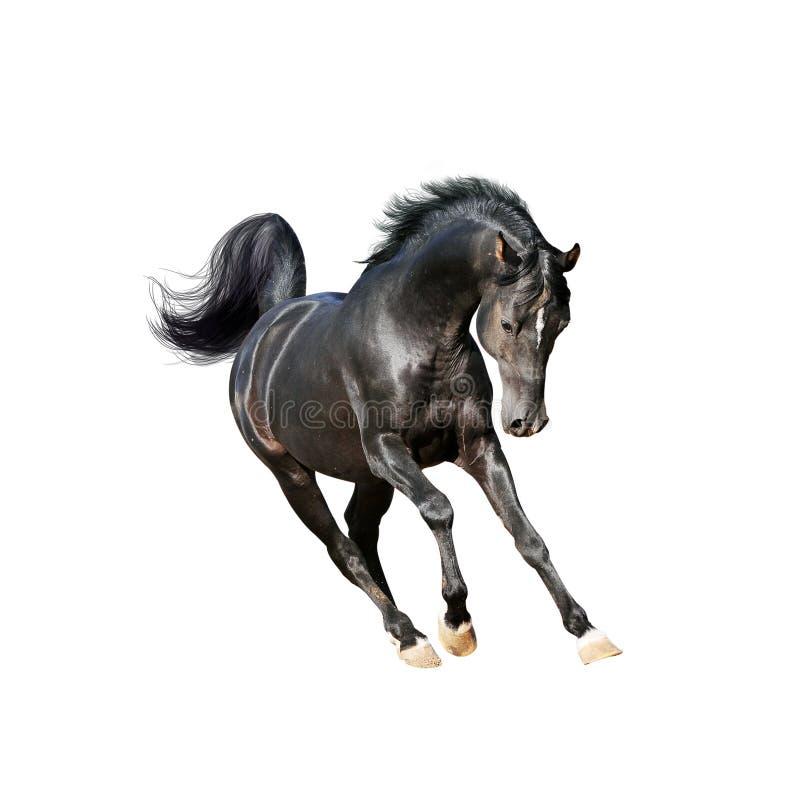 Cheval arabe noir d'isolement sur le blanc image libre de droits