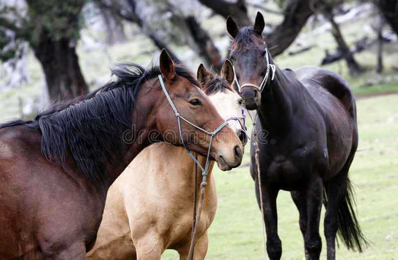 cheval australien photographie stock