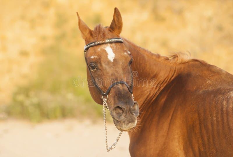 cheval avec la tache blanche sur la tête images stock