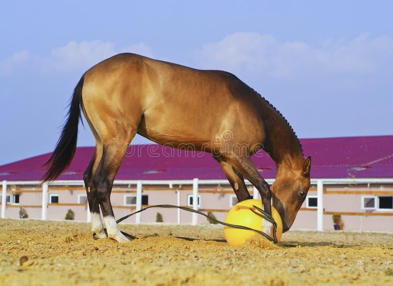 Cheval avec une crinière dentée noire courte jouant dans le sable dans un grand pré avec une boule jaune image libre de droits