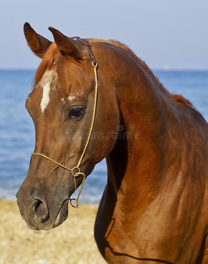cheval avec une petite tache blanche sur sa tête se tenant sur la côte contre le ciel et la mer photo stock