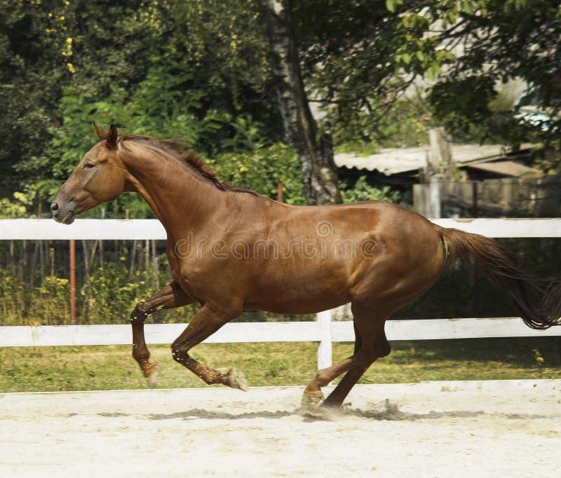 cheval avec une tache blanche sur l'it& x27 ; la tête de s fonctionne dans le pré à côté de la barrière blanche image libre de droits