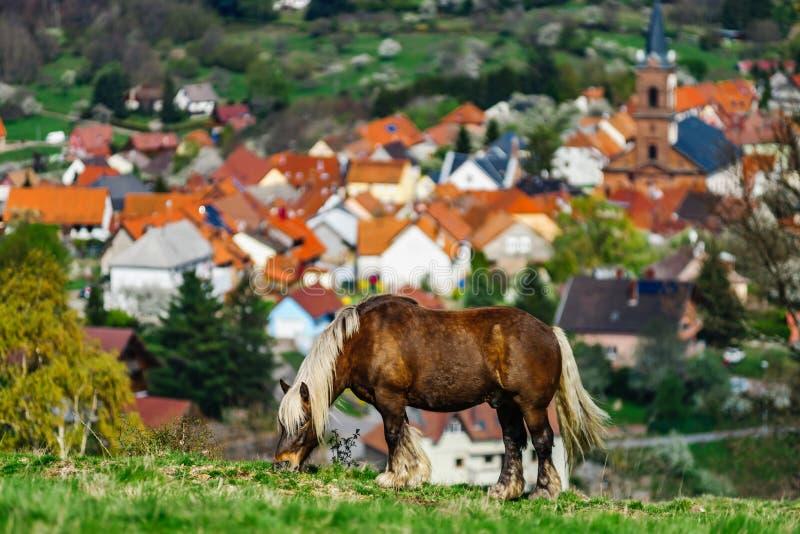 Cheval belge de Brabancon sur les terres cultivables, Alsace, France photo stock