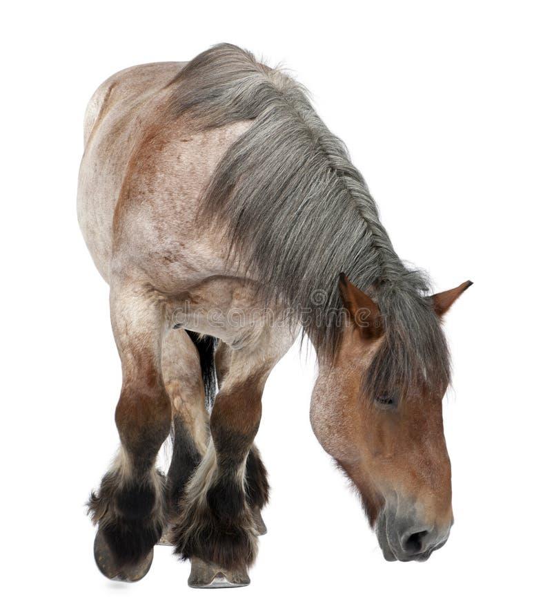 Cheval belge, cheval lourd belge, Brabancon, une race de cheval de trait, 16 années images stock