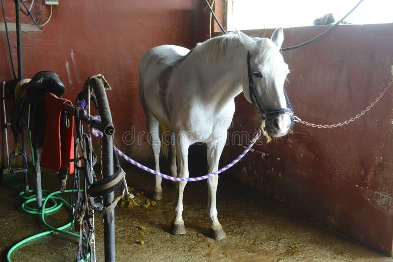 Cheval blanc à l'intérieur des écuries attachées avec des cordes images stock
