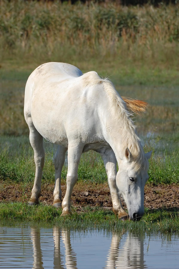 Cheval blanc image stock