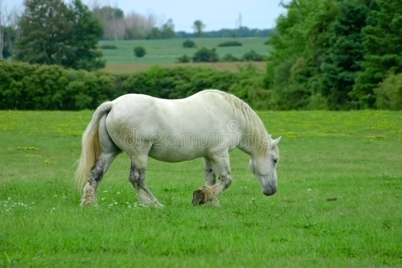 Cheval blanc photo stock