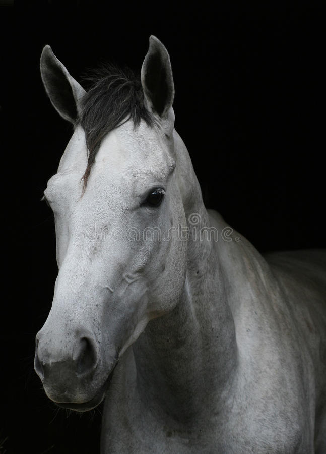 cheval blanc photographie stock