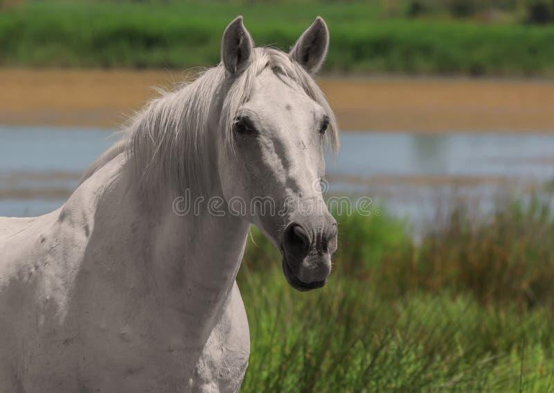 Cheval blanc, animal simple, réservation de Camargue, France du sud photos libres de droits