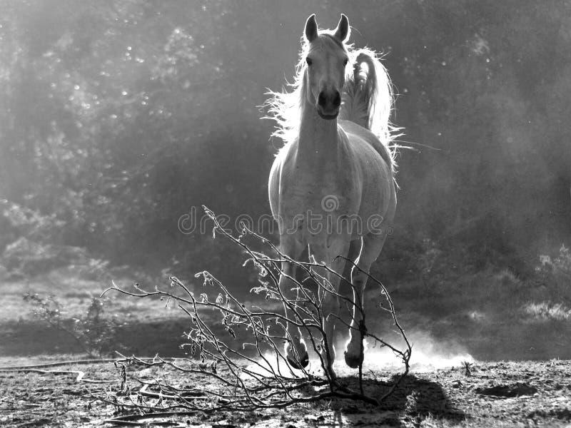 Cheval blanc Arabe image stock