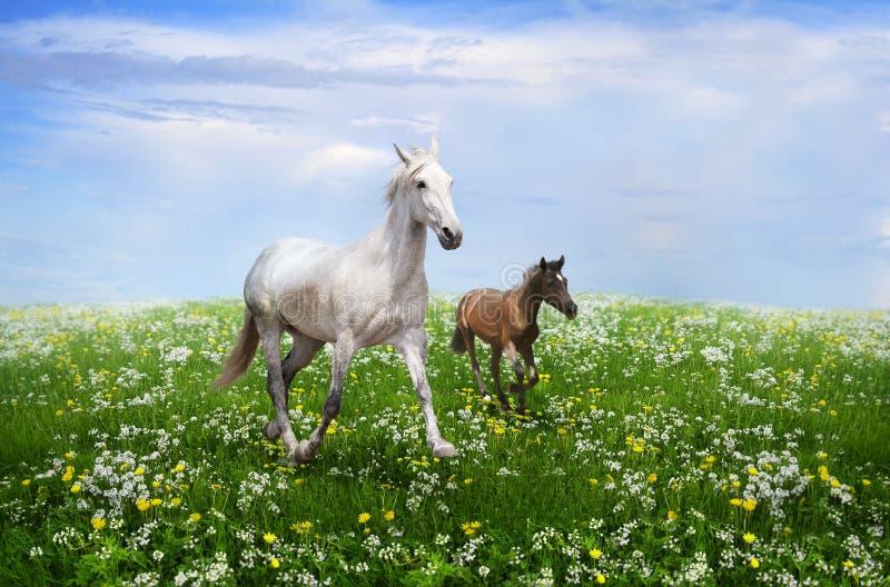 Cheval blanc aux galops de poulain sur une prairie fleurie image libre de droits