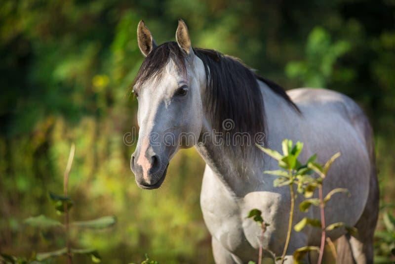 Cheval blanc avec la longue crinière noire photo libre de droits
