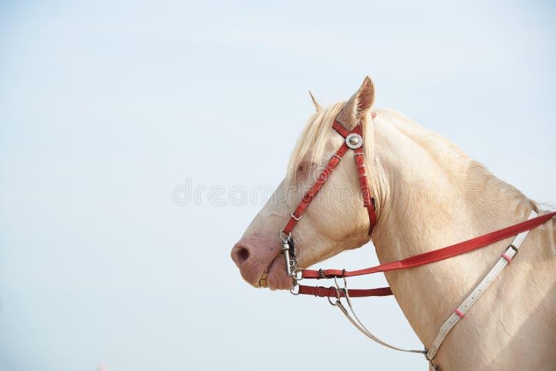 Cheval blanc avec le coquillage sur la licorne de imitation principale image stock