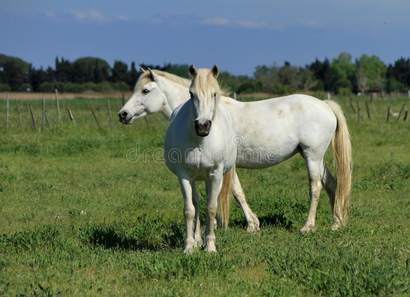 Cheval blanc, Camargue, France photographie stock libre de droits