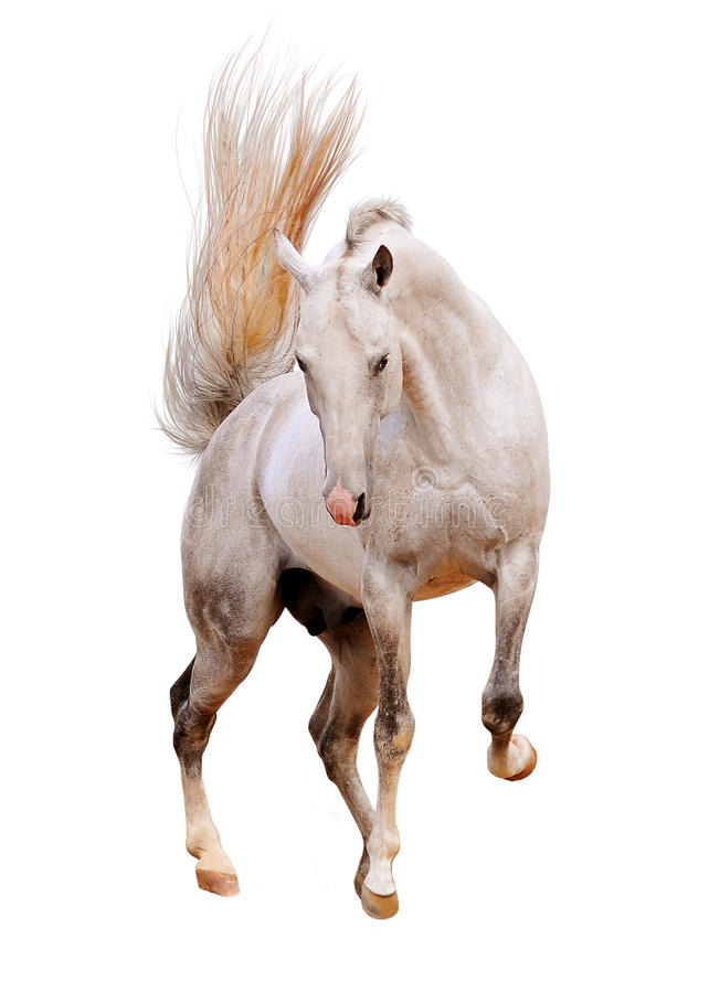 Cheval blanc d'isolement images stock