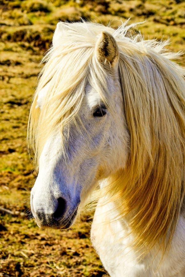 Cheval blanc d'isolement sur l'herbe photographie stock libre de droits