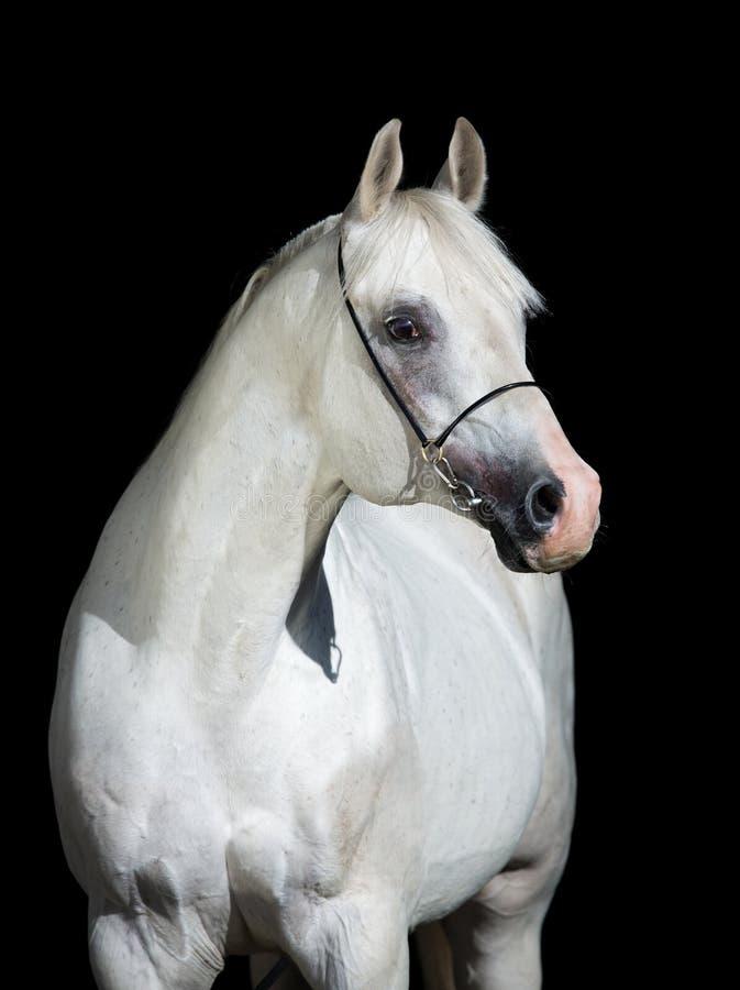 Cheval blanc d'isolement sur le noir photo stock