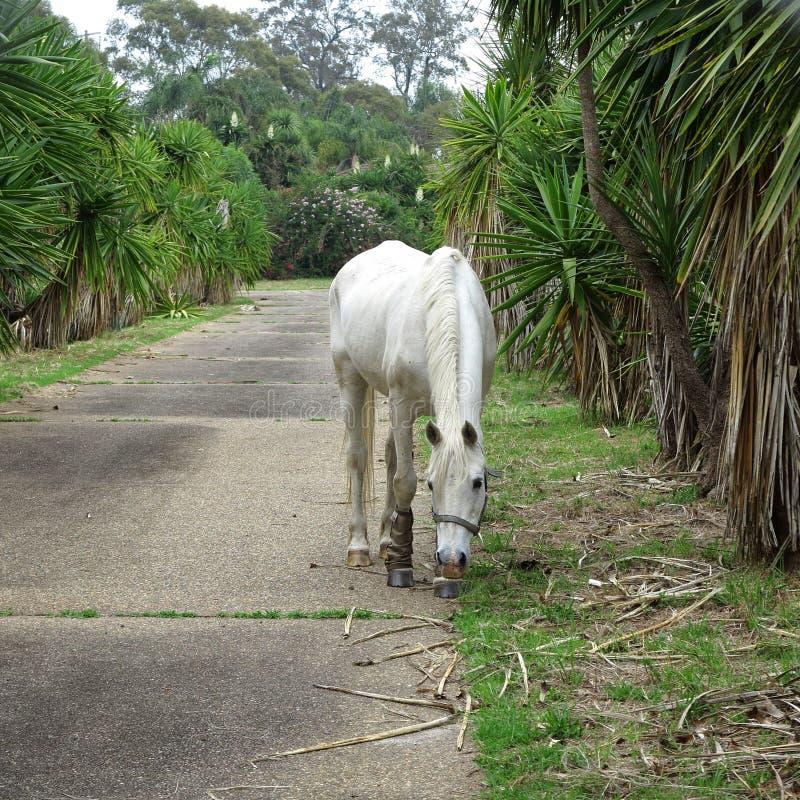 Cheval blanc dans l'allée photo stock