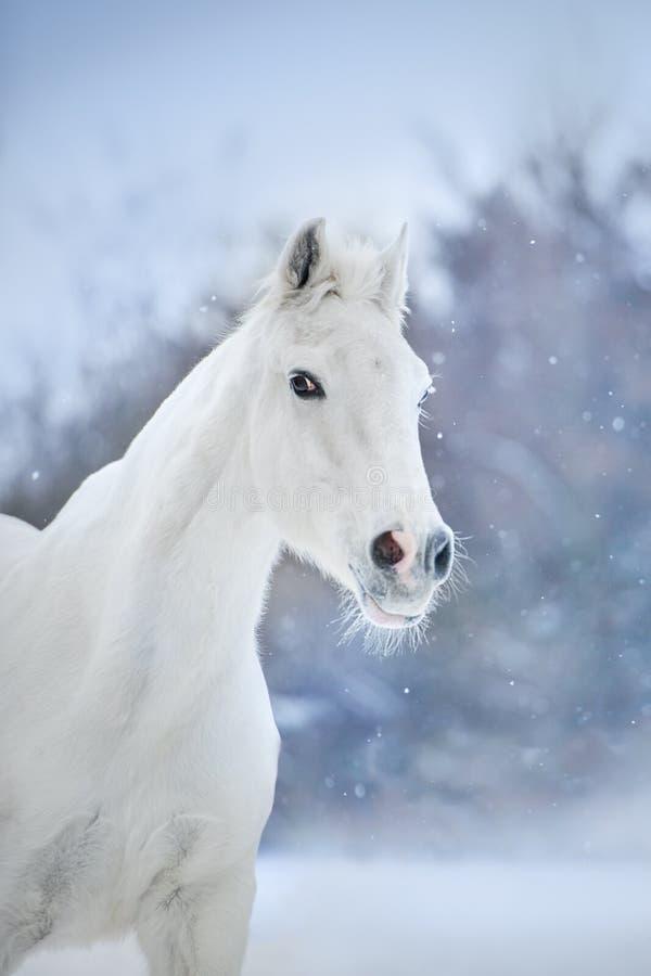 Cheval blanc dans la neige photo stock