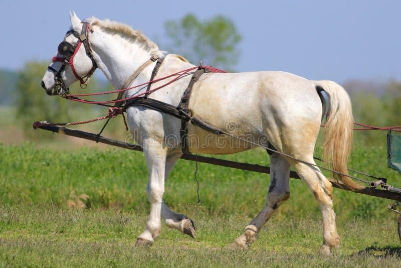 Cheval blanc dans le chariot photographie stock