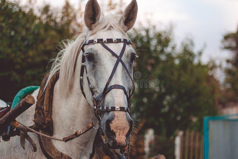 Cheval blanc dans le harnais photo stock