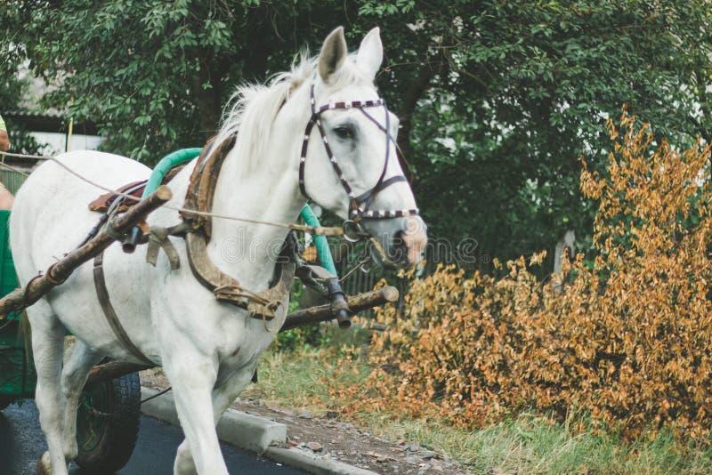 Cheval blanc dans le harnais photo libre de droits