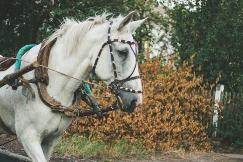 Cheval blanc dans le harnais images libres de droits