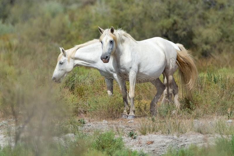 Cheval blanc de parc national de Camargue, France photographie stock libre de droits