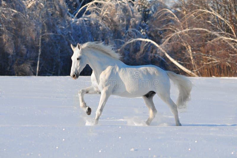 Cheval blanc en hiver images stock
