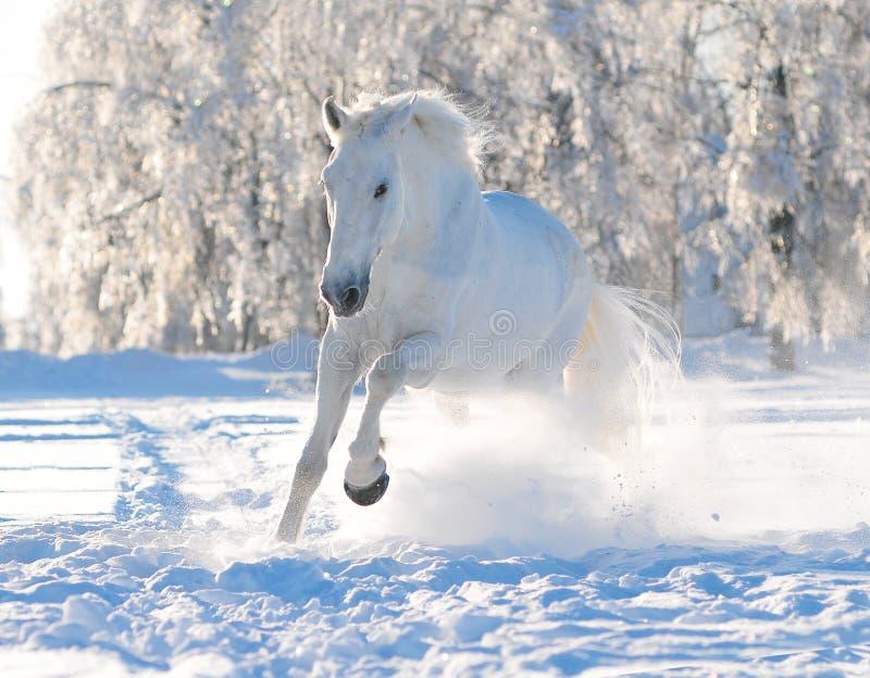 Cheval blanc en hiver