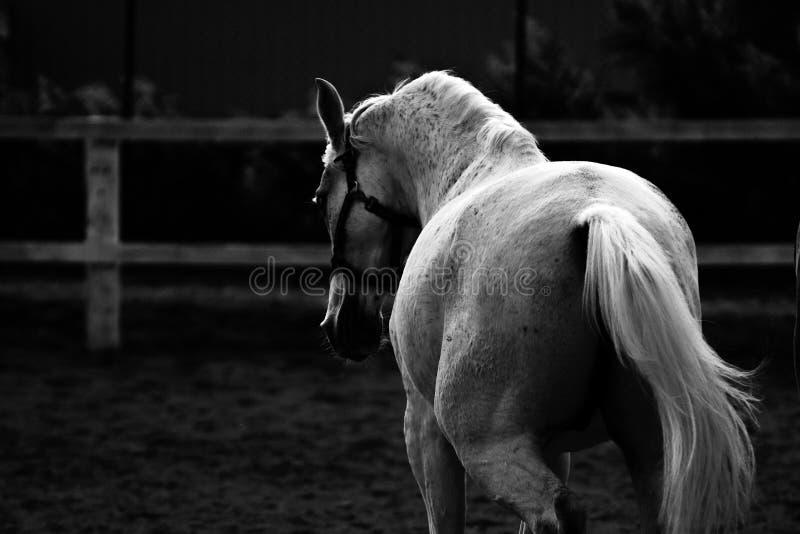 Cheval blanc fonctionnant avec une expression du visage forte, en noir et blanc photographie stock libre de droits