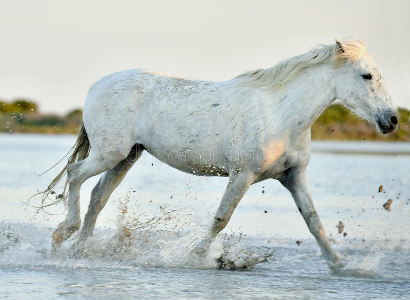 Cheval blanc fonctionnant par l'eau dans la lumière de coucher du soleil images stock