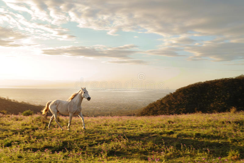 Cheval blanc fonctionnant sur la colline avec les fleurs sauvages photographie stock libre de droits