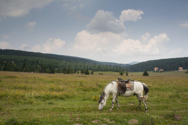 Cheval blanc frôlant au pré à la montagne Serbie de Golija photos stock