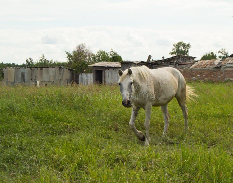 Cheval blanc frôlant sur un pâturage vert d'été dans le village photo libre de droits