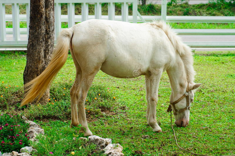 Cheval blanc mangeant l'herbe images libres de droits
