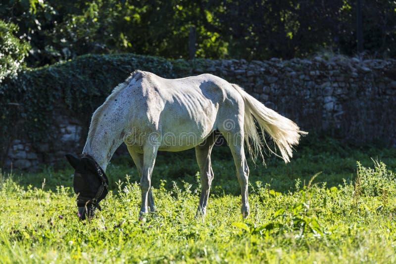 Cheval blanc mangeant l'herbe dans un pré image libre de droits