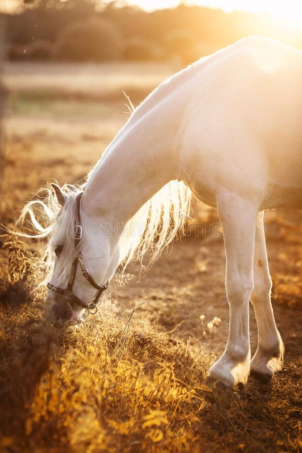 Cheval blanc mangeant l'herbe, frôlant dans un domaine image stock