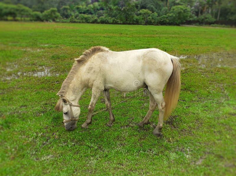 Cheval blanc mangeant l'herbe verte dans le domaine photo libre de droits
