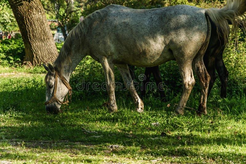 Cheval blanc mangeant une herbe verte photos libres de droits