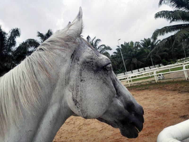 Cheval blanc, photo principale de plan rapproché photos stock